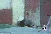 Người thả hàng ngàn con chuột ra đường