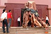 Đưa gốc gỗ sưa giá 17 tỉ đồng vào bảo tàng