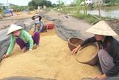 Lúa tăng giá, nông dân ngẩn ngơ