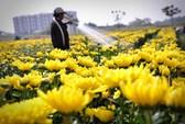 Ruộng hoa Sài Gòn rực rỡ đón xuân