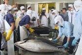 Cá ngừ đi Nhật có giá gấp 3
