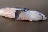 Cá mập giãy giụa đến chết vì mắc nghẹn... sư tử biển