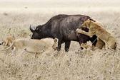 Trâu rừng trốn thoát kỳ diệu giữa bầy sư tử đói