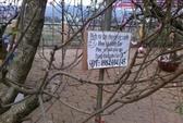 Đào rừng thành của hiếm với người dân Tây Bắc