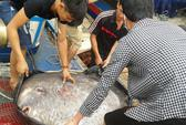 Bắt được cá mặt trăng cực hiếm nặng 120 kg