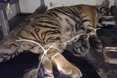 Bị truy bắt, vứt 2 con hổ sống xuống đường bỏ chạy