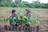 Hỗ trợ cây cà phê giống cho nông dân