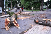 Cổ thụ rơi nhánh tại công viên Tao Đàn
