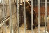 Gấu mẹ bất lực nhìn 3 đứa con bị bắt
