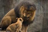Cảm động cha con sư tử hội ngộ