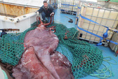 Bắt được mực khổng lồ nặng 350 kg
