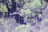 Quảng Nam: Phát hiện bò tót nặng cả tấn
