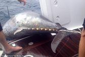 Vật lộn 4 giờ, lôi cá ngừ gần nửa tấn lên thuyền