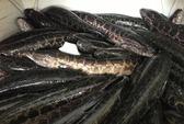 Bắt 500 kg cá quả Trung Quốc nhập lậu
