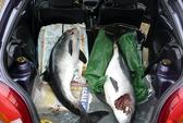 Cá heo khoét mắt, giết chết đồng loại để giải trí