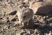 Phát hiện loài chuột có họ hàng với voi