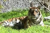 Ăn thịt 3 con hổ, ngồi tù 13 năm