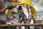 Xuất khẩu cá tra sang EU gặp khó
