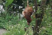 Gà nhiễm cúm A/H5N1 bị treo cây