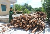Thương lái đổ xô mua cây dẹp