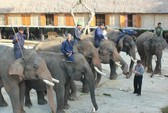Tổ chức tang lễ cho voi nhà 62 tuổi