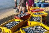 Ngư dân trúng đậm cá nục gai, cá dò