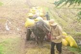Bắt đầu thu mua tạm trữ lúa gạo
