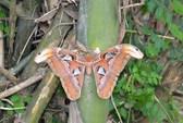 Phát hiện bướm khổng lồ trong lúc chặt tre
