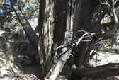 Phát hiện súng trường 132 năm tuổi dựa vào thân cây