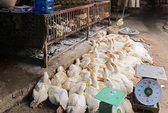 Dịch cúm A/H5N6 xuất hiện tại Thanh Hóa