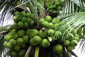 Dừa siêu trái, lãi cao: quảng cáo quá lời