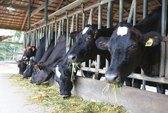 Mô hình chăn nuôi bò sữa công tư