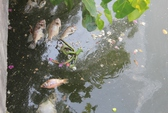 Cá lại chết trên kênh Nhiêu Lộc – Thị Nghè