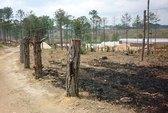 Tàn hại rừng thông