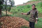 Hành tây Đà Lạt đổ bỏ, bắp cải trúng mùa