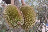 Lâm Đồng trúng lớn mùa sầu riêng