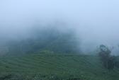 Lên Đà Lạt ngắm đồi chè 100 năm tuổi trong sương