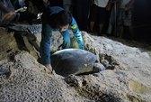 """Trắng đêm """"đỡ đẻ"""" cho rùa biển"""