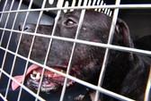 Mỹ: Đàn chó nhà nổi điên cắn gần đứt tay chủ