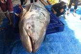 Thuê 8 thanh niên khuân vác cá tra dầu nặng 200kg