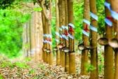 Bầu Đức: Cân nhắc bán 20.000 ha cao su cho đối tác Trung Quốc