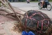 """Hà Nội """"điểm danh"""" công ty trồng cây bị bật gốc lộ bọc nilon"""