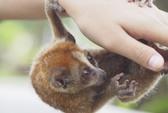 Vào vườn quốc gia Cát Tiên xem voọc mắc cỡ