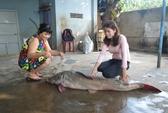 Bắt được cá lăng nặng hơn 40kg trên sông Sêrêpốk