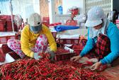 Trung Quốc thu mua ớt ào ạt, giá ớt nhảy múa