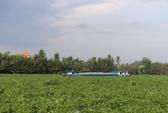 """Lục bình đang """"giết"""" sông Sài Gòn"""