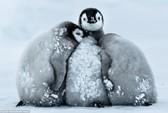 Tan chảy với cảnh chim cánh cụt nhí ủ ấm nhau trong bão tuyết