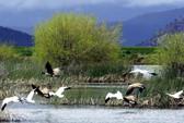 Ngỗng di cư chết hàng loạt vì đáp xuống hồ nhiễm độc