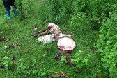 Kẻ gian trộm bò của dân, xẻ lấy thịt chỉ để lại bộ xương