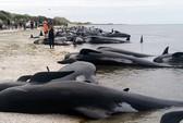 """New Zealand: Hàng trăm cá voi gục chết ở """"tử địa"""""""